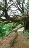 La grande quercia, Ole Oak e la quercia costituzionale fotografia stock