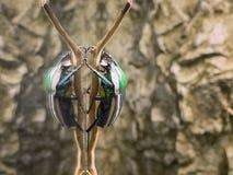 La grande réflexion d'insecte sur le verre aiment le double dans le zoo 2014 à Riga Lettonie Images libres de droits