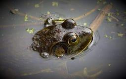 La grande rana toro americana immagine stock libera da diritti