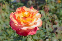 La grande rosa di rosa Fotografia Stock