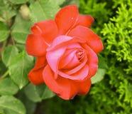 La grande rosa rossa immagini stock