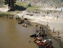 La grande sete del bestiame da lavoro Immagini Stock Libere da Diritti