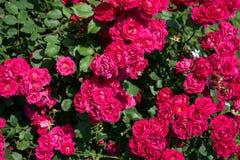 La grande spazzola delle rose, con i lotti delle rose profumate immagini stock libere da diritti