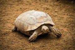 La grande tartaruga cammina intorno nello zoo in Tenerife, Spagna Fotografia Stock Libera da Diritti