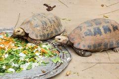 La grande tartaruga delle Seychelles mangia Fotografia Stock
