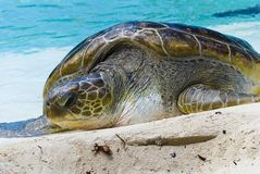 La grande tartaruga immagini stock