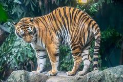 La grande tigre nello zoo Immagini Stock Libere da Diritti
