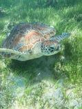 La grande tortue Images libres de droits