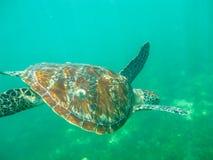 La grande tortue Photos libres de droits
