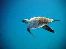 La grande tortue de mer nage sous l'eau image libre de droits