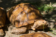 La grande tortue mange l'herbe Photo stock