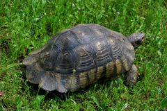 La grande vecchia tartaruga cammina nel parco nel primo piano dell'erba verde fotografia stock