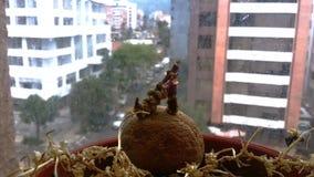 La grande vie de ville d'une pomme de terre photos stock