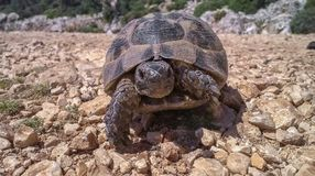 La grande vieille tortue traverse la route en pierre chez la dinde images stock