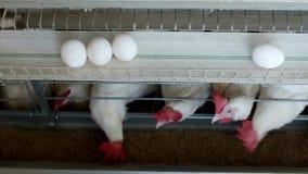 La granja avícola para los pollos de la cría, huevos del pollo pasa a través del transportador, de los pollos y de los huevos, pr almacen de metraje de vídeo