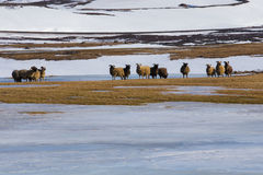La granja de las ovejas en invierno con nieve de la montaña coved Imagen de archivo