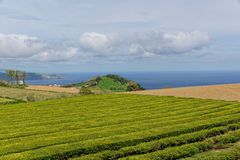 La granja del té en el sao Miguel de la isla en Azores Fotografía de archivo