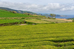 La granja del té en el sao Miguel de la isla en Azores Fotos de archivo
