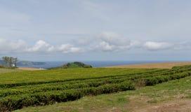 La granja del té en el sao Miguel de la isla en Azores Imagenes de archivo