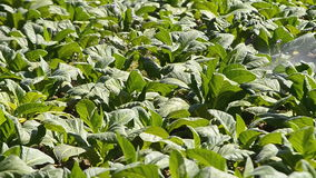 La granja del tabaco y el espray del granjero aplican el fertilizante metrajes
