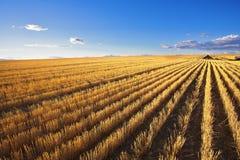 La granja en campos de trigo después de cosechar Imágenes de archivo libres de regalías