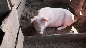 La grasa y el cerdo contento miente en la basura en la tierra en el granero almacen de video