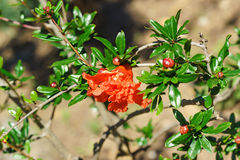 La grenade de fleur est lat ordinaire Punica granatum Photos libres de droits