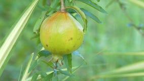 La grenade porte des fruits sur l'arbre de branche, plan rapproché banque de vidéos