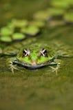 La grenouille Image libre de droits