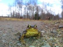 La grenouille photo libre de droits