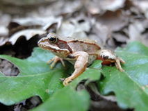 La grenouille Photographie stock libre de droits