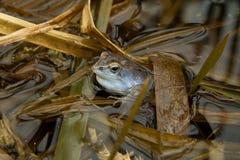 La grenouille commune d'Européen (temporaria de Rana) dans le bleu wed Images stock