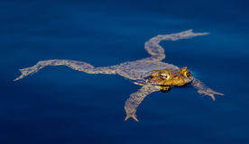 La grenouille commune nage dans l'étang Photographie stock libre de droits