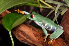 La grenouille d'arbre aux yeux rouges touche la feuille photographie stock