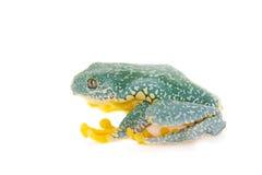 La grenouille d'arbre de frange sur le blanc Photo stock