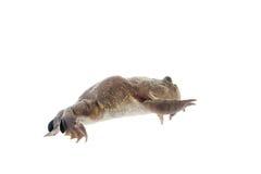 La grenouille de Budgett ou d'hippopotame, laevis de Lepidobatrachus, sur le blanc Photos stock