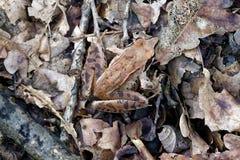 La grenouille de forêt est masquée dans le feuillage photos stock