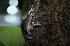 La grenouille mugissante Photographie stock libre de droits