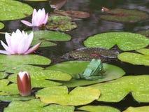 La grenouille offensée a tourné loin Parc avec des lis image libre de droits