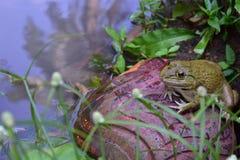 La grenouille s'est reposée sur la roche près du marais photo libre de droits