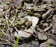 La grenouille se repose et se dore au soleil photo libre de droits