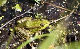La grenouille se repose et se dore au soleil Photos libres de droits