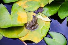 La grenouille se reposent sur les feuilles de lis photo stock