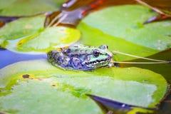 La grenouille sur un lotus part Images stock