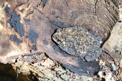 La grenouille thaïe de crapaud se cache photographie stock libre de droits