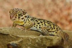 La grenouille tibétaine a observé le roborowskii de Teratoscincus de gecko se tenant sur le revêtement en pierre en avant photo libre de droits