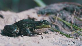 La grenouille verte se repose sur le rivage près de la rivière banque de vidéos