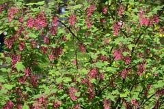 La groseille de floraison rouge sang et x28 ; Sanguineum PPursh de Ribes et x29 ; ursh et x29 ; Photos libres de droits