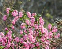 la groseille Rouge-fleurissante fleurit comme d'abord en premier ressort Images libres de droits