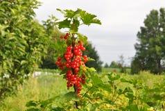 La groseille rouge, ou rubrum de Ribes de groseille rouge avec des feuilles sur la branche Image libre de droits